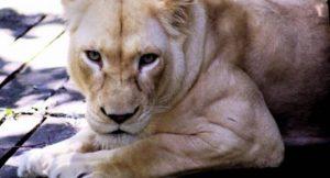 Weißer Löwe; Foto: kabir (morgueFile)