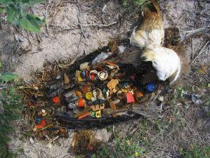 Toter Jungvogel mit Müll-Mageninhalt; Foto: Skeleton Sea