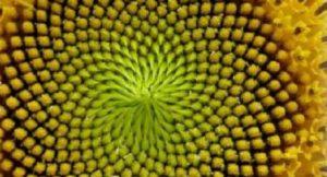 Spiralförmige Sonnenblumenkerne