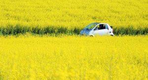 Auto in Rapsfeld