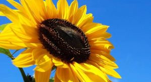 Sonnenblume; Foto: Bigstock