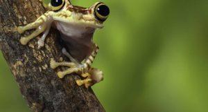Laubfrosch aus Ecuador
