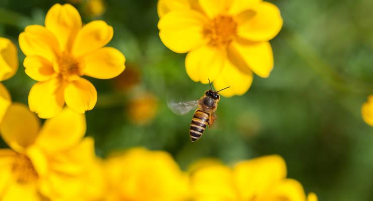 Bienen werden durch erhöhten Einsatz von Chemikalien bedroht