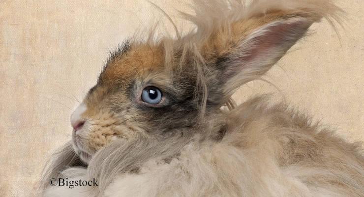 Angora - Kaninchen müssen oft Qualen leiden