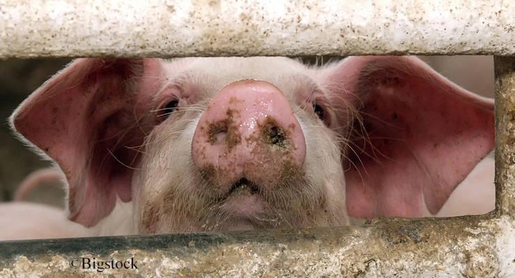 Fast 4.700 Bauern haben sich für die Initiative Tierwohl registriert. Leider bekommt nur weniger als die Hälfte von ihnen Geld.