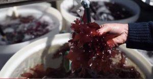 So sieht die nach Speck schmeckende Alge aus.