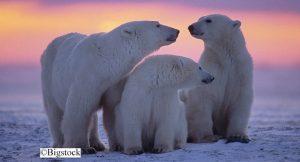 Eisbären sind vom Klimawandel bedroht
