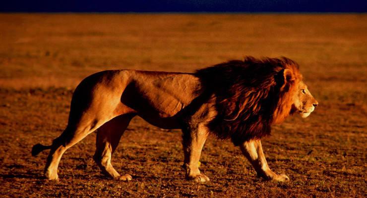 EU erlaubt Einfuhr von Löwentrophäen