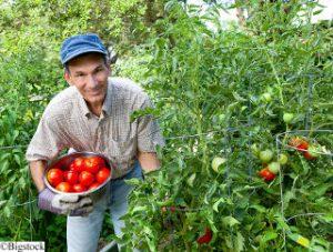 Mann beim Tomatenpflücken