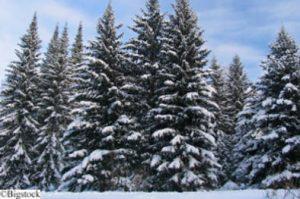 Weihnachtsbäume nachhaltig kaufen