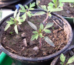 Ableger Pflanzen