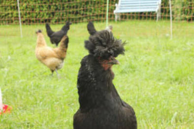 Selbstversorgung - Hühnerhaltung