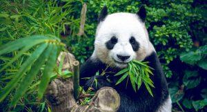 Panda und Tiersterben