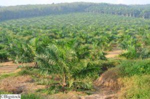 Indonesien - Raubbau der Palmöl-Industrie