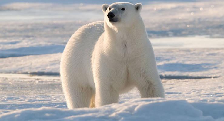 Eisbär im Gebiet Barentsee