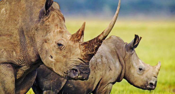 Umweltschützer sind erleichtert: Das Handelsverbot von Rhinozeros-Horn bleibt weiterhin bestehen © WWF
