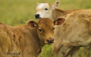 Landwirtschaft, Milchkühe, trächtige Kühe, Schlachthofe