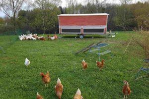 Freiland Hühner im Mobilstall, finanziert über eine gemeinschaftlich getragene Landwirtschaft