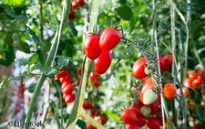 Keine Monopolbildung von Saatgut