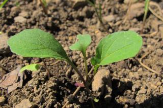 Microgreens anbauen