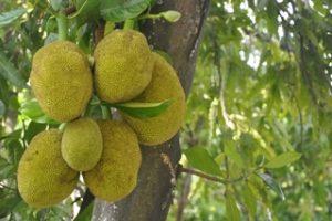 Jacky F. Jackfruit Fleischersatz Vegetarisch