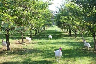 Freilandputen unter Holunderbüschen Agroforstwirtschaft