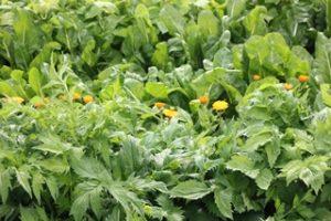 Enge Bepflanzung lässt auch in Siedlungen gute Ernte erzielen