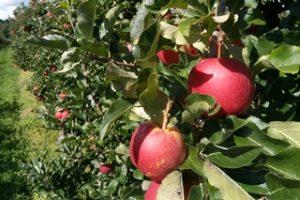 Bodense Apfel Ernte