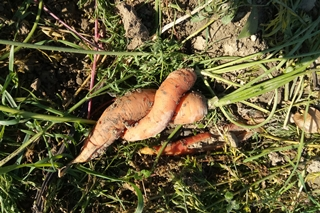 Bio für alle, krumme Karotten werden weggeworfen