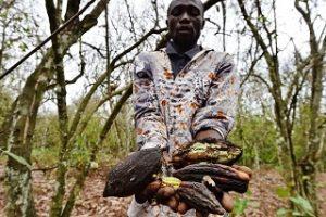 Kakaobauer hält vertrocknete Kakaobohnen in der Elfenbeinküste, deren Bäume von Insekten angefressen wurden Issouf Sanogo AFP Getty Images