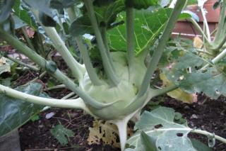 Gemüse und Obst - Kohlrabiknolle im Beet