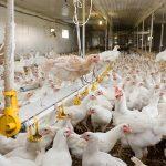 Die schmutzige Arbeit der Hühnchenverarbeitung – auch Aldi und Lidl in Kritik