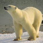 Um die Eisbären steht es schlecht