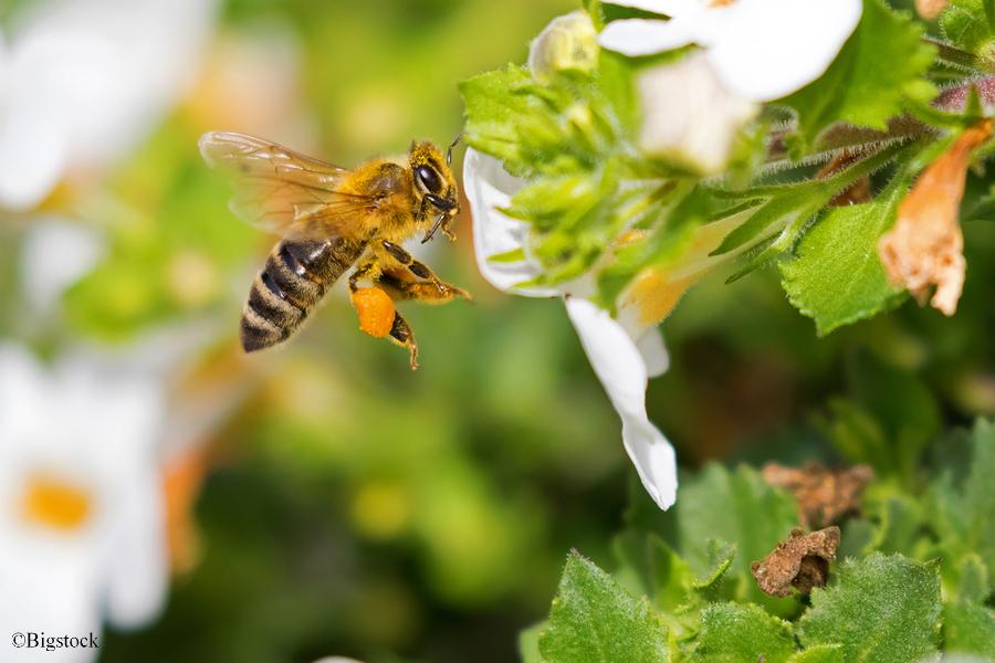 Bienen und Neonikotinoide