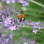 Wie du den Bienen mit einem Balkongarten helfen kannst