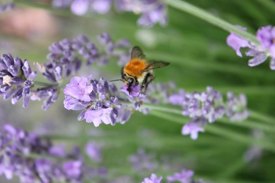Kräuter auf dem Balkon bieten Nahrung für Bienen