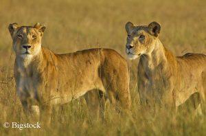 Löwen zählen zu jenen Großkatzen, die besonders stark gefährdet sind.