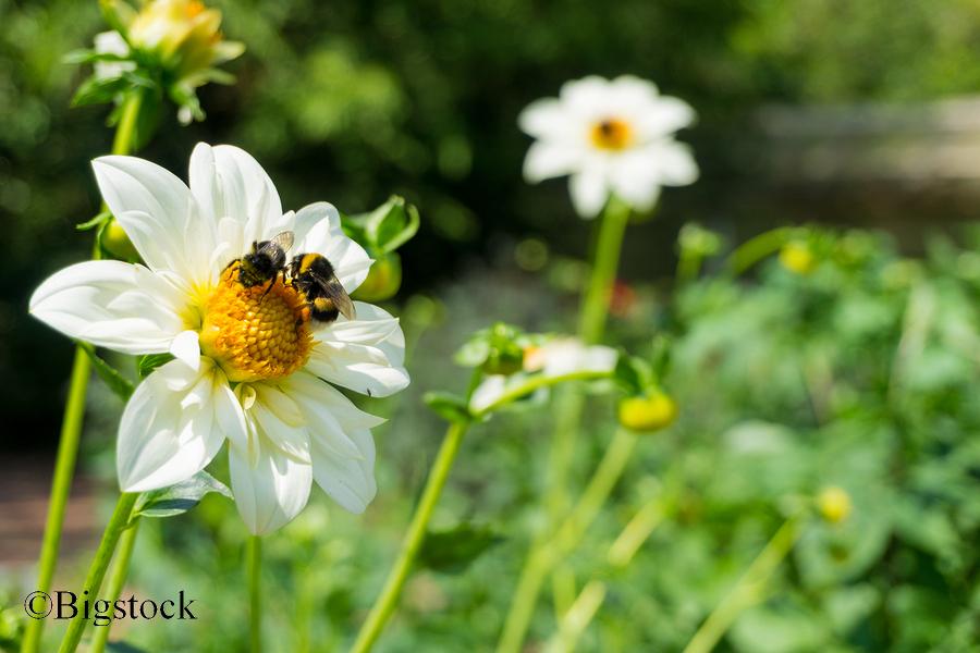 Die wohl bekanntesten Wildbienen: auch Hummeln auf Hilfe angewiesen.