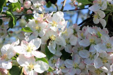 Blütenmeer in der Apfelplantage, die Bienen freut es © Malchus Kern