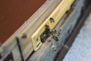 Bienen fliegen fleissig - auch für uns © Malchus Kern