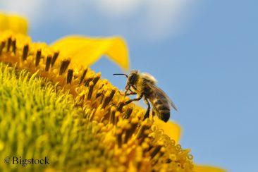 EU-Staaten beschließen Verbot bienenschädlicher Neonikotinoide, um Insektensterben aufzuhalten.
