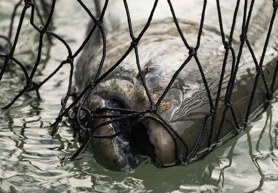 Ein Königslachs in einem Fischernetz ®Bickstock