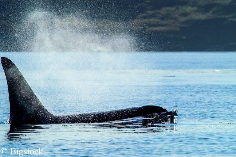 Bedrohte Orcas vor der Küste Washingtons