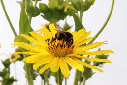 Die Durchwachsene Silphie gilt als bienenfreundlich.