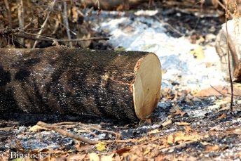 Abholzung des Regenwaldes, wie von Bolsonaro geplant, ist katastrophal für unser Klima