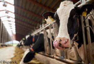 Kühe produzieren beim Verdauen Methan