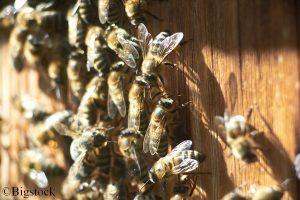 Bienenpopulationen sinken weiter. Ein neuer Impfstoff für Bienen könnte helfen.